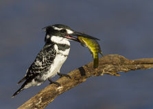 Pied Kingfisher with a colorful fish catch Stock Photography