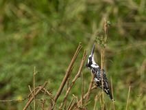 A Pied Kingfisher controlling the danger from abov Royalty Free Stock Photography