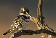 Pied Kingfisher in early morning light Royalty Free Stock Photos