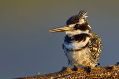 Pied Kingfisher in early morning sun on branch. Pied kingfishers in early morning sun on branch in nature reserve in south africa Royalty Free Stock Photos
