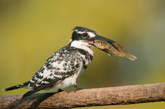 Pied kingfisher eating fish. Common resident.  Fish-eater. Black and white. White venter.  Black bill.  White eye stripe. Widespread on rivers, dams and coastal Stock Photos