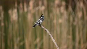 Pied Kingfisher feeding Royalty Free Stock Images