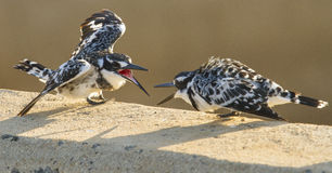 Pied Kingfisher Fight - Kruger National Park Royalty Free Stock Images