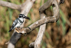 Pied Kingfisher with a fish Stock Photography