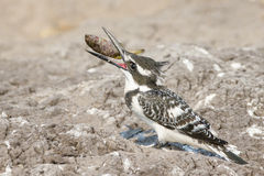 Pied Kingfisher with fish between beak Stock Photo