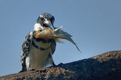 Pied Kingfisher with fish in beak. Pied Kingfisher with small fish sitting on branch in riverbed Stock Photo