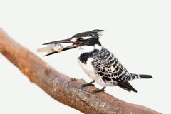 Pied Kingfisher with fish Royalty Free Stock Photos