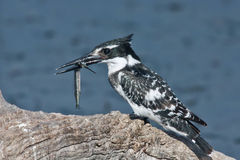 Pied kingfisher with a fish. The Pied Kingfisher (Ceryle rudis) is a water kingfisher and is found widely distributed across Africa and Asia Stock Image