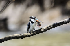 Pied Kingfisher with a fish in its beak Stock Images
