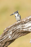 Pied kingfisher with fish in mouth Stock Images
