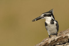 Pied Kingfisher with a fish sitting on a branch Royalty Free Stock Images