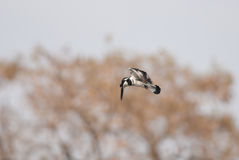 Pied kingfisher in flight Stock Images
