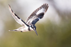 Pied kingfisher hover in flight to catch fish Stock Image