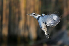 Pied Kingfisher hovering Stock Image