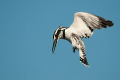 Pied kingfisher hovering while hunting Royalty Free Stock Images