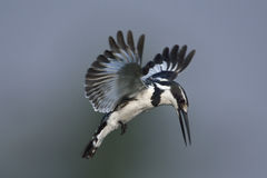 Pied Kingfisher Hovering Over Water Royalty Free Stock Photos