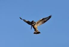 Pied Kingfisher Stock Photos