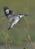 Pied Kingfisher hovering over water royalty free stock photo