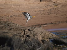 Pied Kingfisher. Hovering and waiting to swoop onto prey Stock Photos