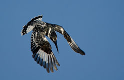 Pied Kingfisher hunting stock photography