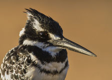 Pied Kingfisher i morgonlampa Royaltyfri Foto