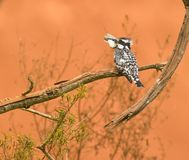 A Pied Kingfisher with it´s prey Royalty Free Stock Photography