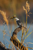 Pied Kingfisher. A pied Kingfisher with its catch Royalty Free Stock Image