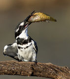 Pied kingfisher with its prey Stock Photography