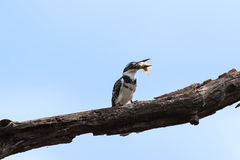 Pied kingfisher killing a fish by hitting it on branch Royalty Free Stock Image