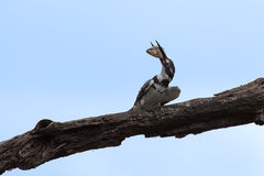 Pied kingfisher killing a fish by hitting it on branch Royalty Free Stock Photo
