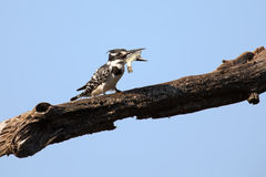 Pied kingfisher killing a fish by hitting it on branch Royalty Free Stock Images