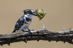 Pied Kingfisher kills fish on a branch Stock Images