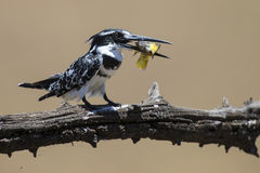 Pied Kingfisher kills fish on a branch Royalty Free Stock Photos