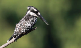 Pied Kingfisher looking for food Royalty Free Stock Photos