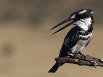 Pied Kingfisher You talking to me Stock Photo