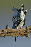 Pied Kingfisher mating on branch Royalty Free Stock Photo