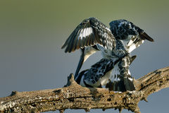 Pied Kingfisher mating on branch Royalty Free Stock Image