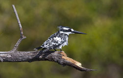 Pied Kingfisher - Okavango Delta - Botswana. A Pied Kingfisher (Ceryle rudis)on its fishing perch in the Okavango Delta in Botswana Stock Image