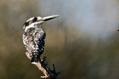 Pied Kingfisher on perch looking out for food Stock Photos