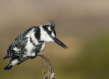 Pied Kingfisher perched against a super background Royalty Free Stock Images