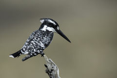 Pied Kingfisher. A pied Kingfisher perched on branch on a sunny day Royalty Free Stock Photos