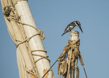 Pied kingfisher perched on a mast top Royalty Free Stock Photos