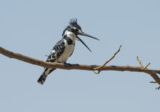 Pied kingfisher perched on a tree branch Royalty Free Stock Image
