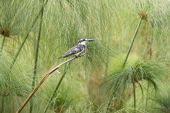 Pied kingfisher - pied crested kingfisher. Pied crested kingfisher  - Megaceryle lugubris - in a very nice environment of papyrus in Africa Stock Image
