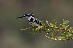 Pied kingfisher on pirtch Royalty Free Stock Images