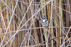 Pied kingfisher in reeds. Pied Kingfisher (Ceryle rudis) perched on reeds along river edge, Namibia, 2015 royalty free stock image
