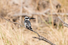 Pied kingfisher in reeds. Pied Kingfisher Ceryle rudis perched on reeds along river edge, Namibia, 2015 Stock Photography