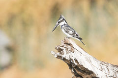 Pied kingfisher resting over a river on a log Royalty Free Stock Images