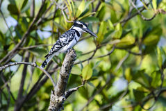 Pied Kingfisher resting on a post Stock Image