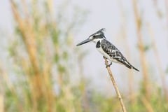 Pied kingfisher resting on reed Royalty Free Stock Photos